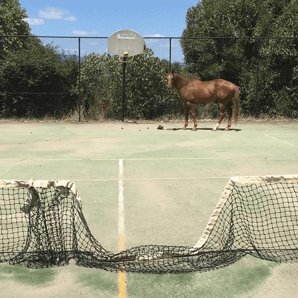 Ein Pferd steht auf einem Tennisplatz, das Tennisnetz ist eingedrückt.